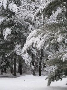 serene,winter,snow,trees,Northwoods,pine trees,snowfall